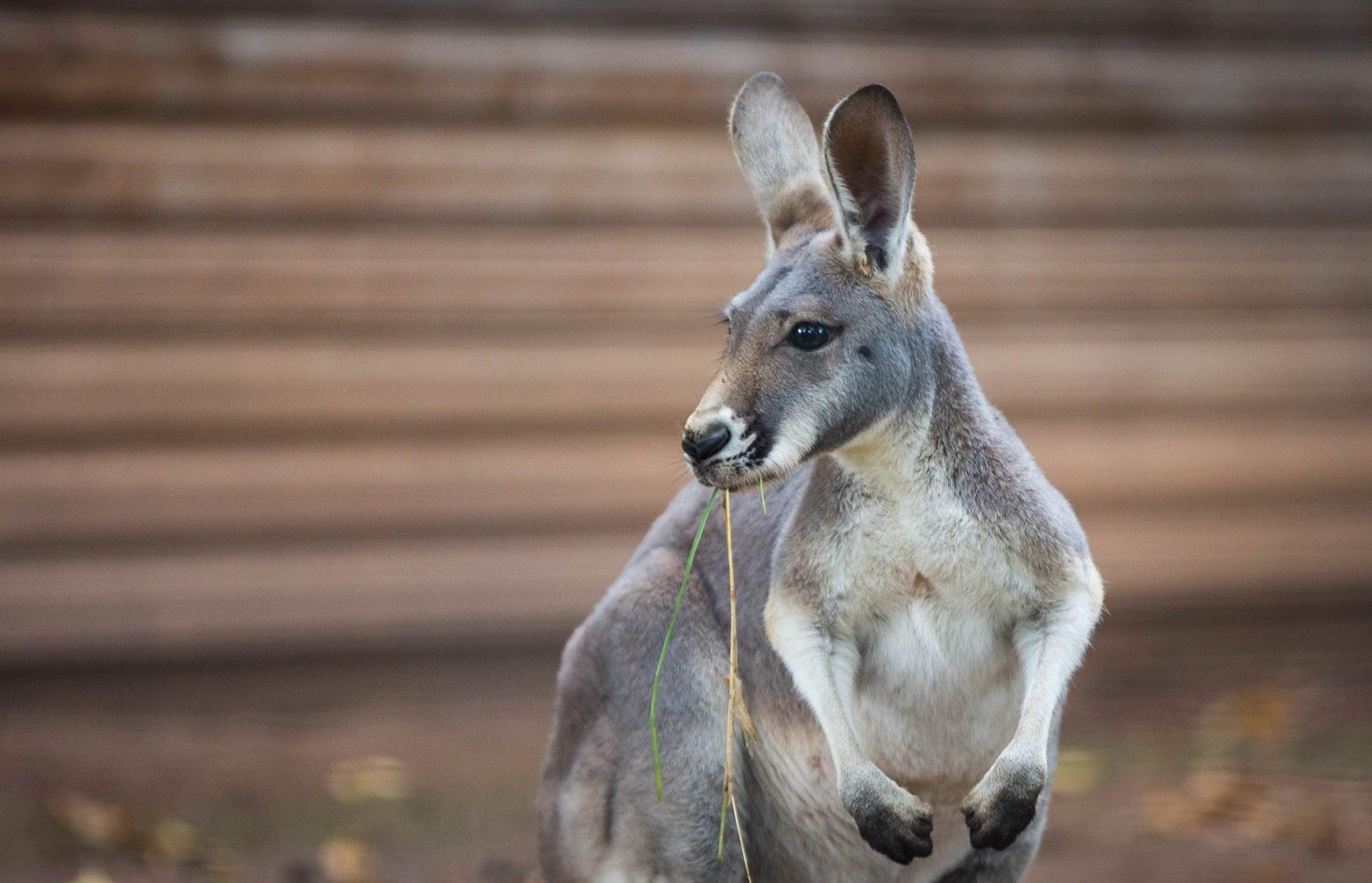 Känguruh im Zoo Dresden. Foto: Sven Ellger